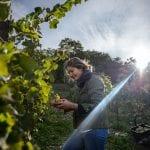 picking-grapes-in-the-vinyard