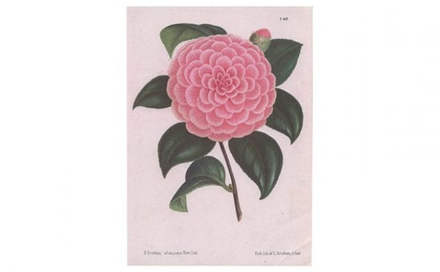 Pentreath-Hall-Camellia-Card-PAH40.jpg