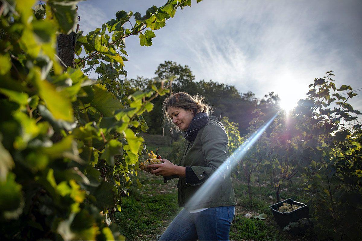 picking-grapes-in-the-vinyard.jpg